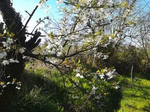 cerisier corneillan