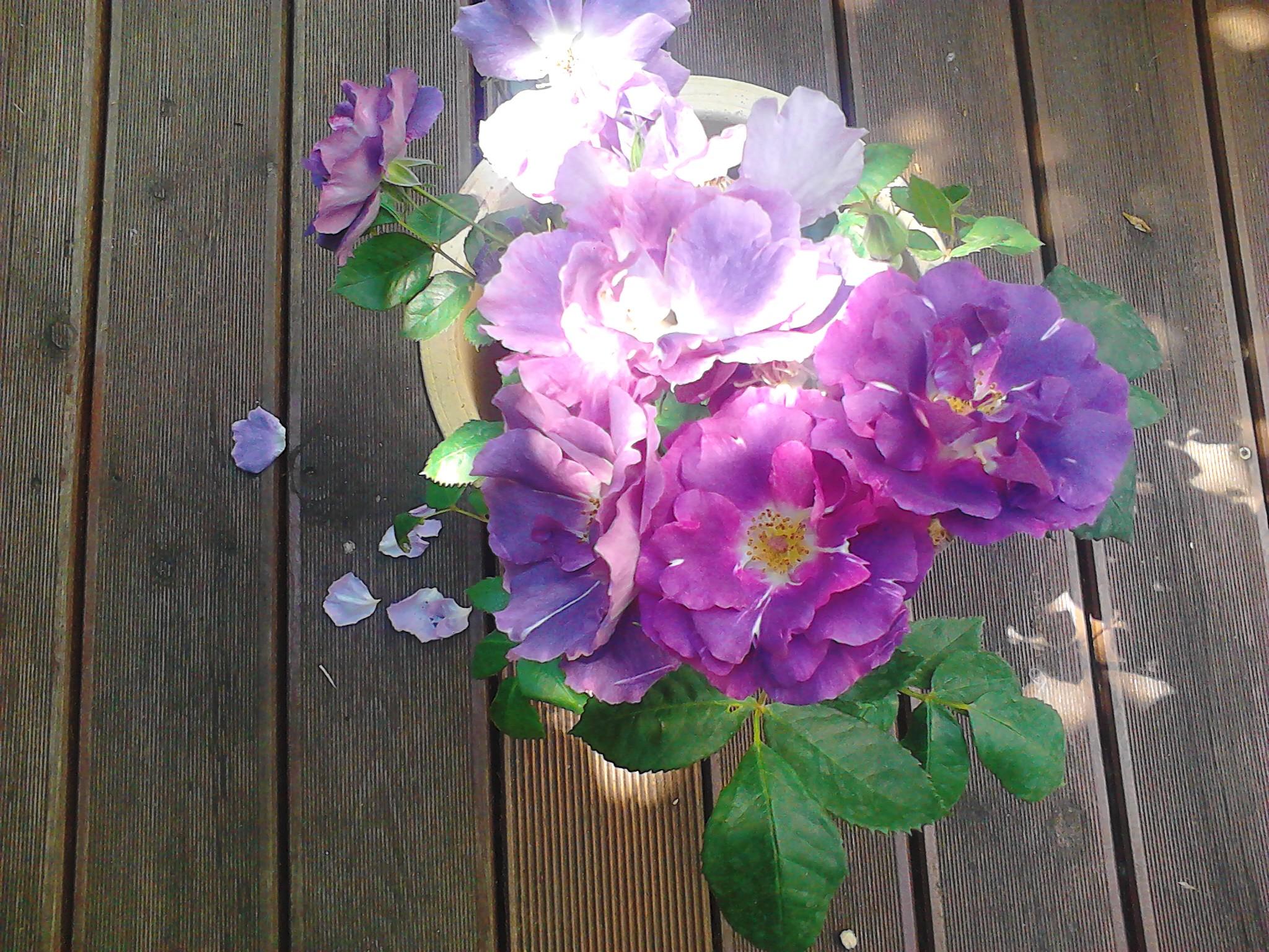 quelques fleurs du jardin rosier rhapsody in blue la cuisine de bulle. Black Bedroom Furniture Sets. Home Design Ideas