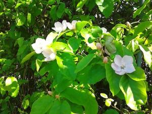 Fleurs de cognassier....  bientôt suivies de jolis fruits, les coings.