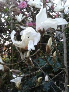 camelia blanc sasamqua