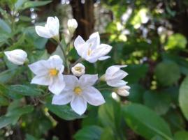 Solanum jasminoides (Blanc)