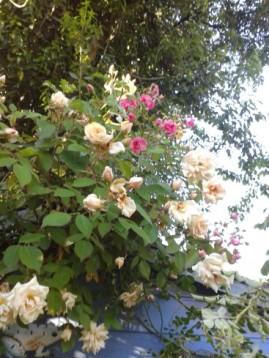 roses crèmes et roses