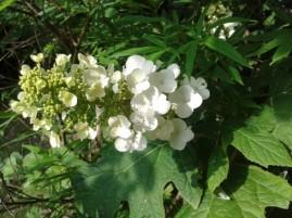hydrangea paniculata blanc