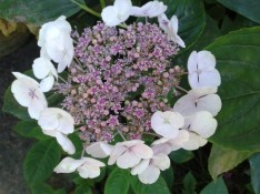 hydrangea blanc et rose