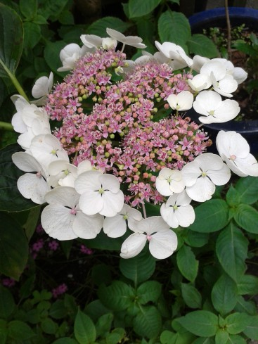 hydrangea rose et blanc