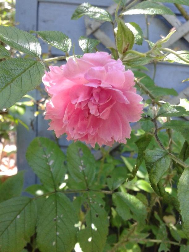 rose rose oeillet
